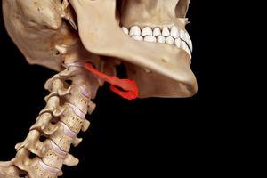 Hyoid bone and neck anatomy