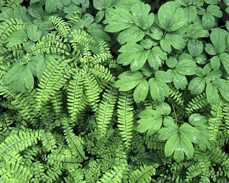 Blue Cohosh (Caulophyllum thalictroides) and maidenhair fern (Adiantum), Ontario