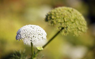 Powder datse pollen benefits in urdu