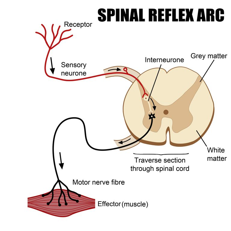 Spinal reflex arc shows paths of sensory and motor nerves.