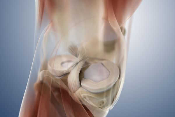 Knee, interior view