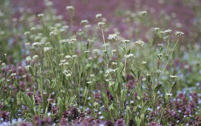 Eyebright: Benefits, Side Effects, and Preparations