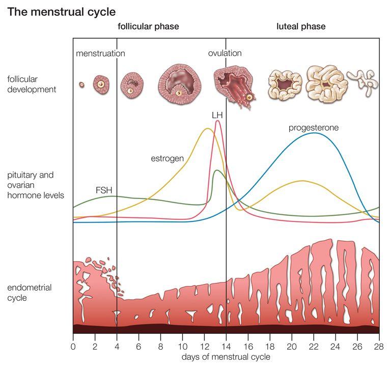 Chart describing the menstrual cycle