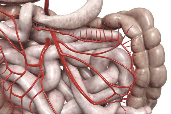 Mesenteric arteries - stock illustration