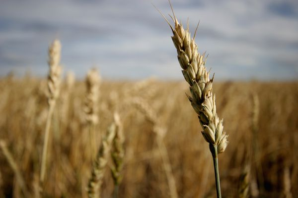 wheat-by-10-cent-designer-Flickr.jpg