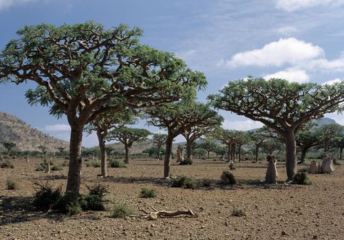 Frankincense trees grow in the Middle East.