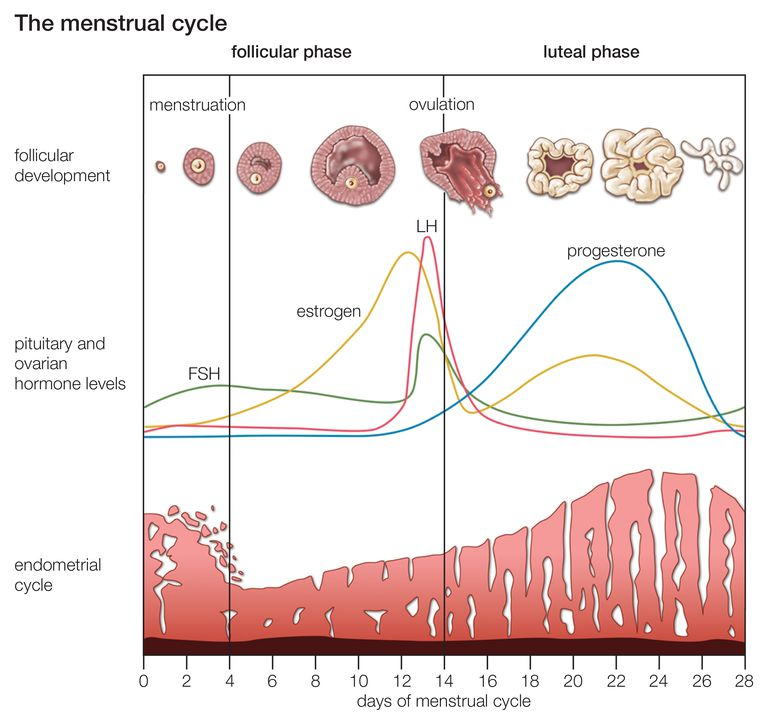 The cyclical changes that occur during the normal menstrual cycle in women