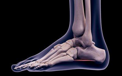Bones of the foot