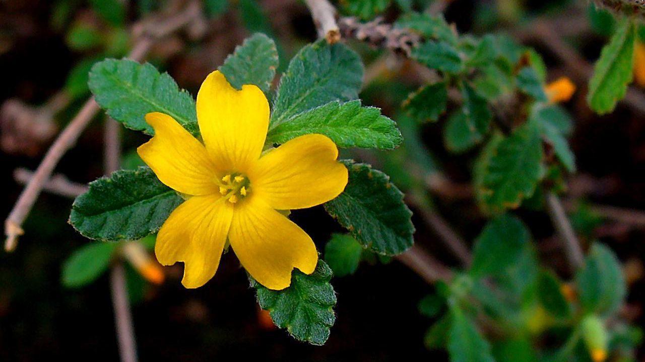 Damiana: Benefits, Side Effects, and Preparations