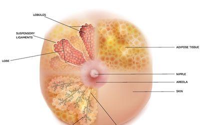 Breast anatomy detailed diagram