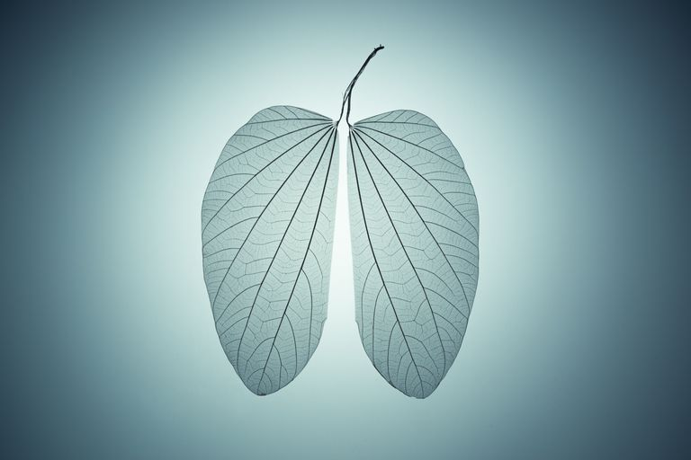 Lung shape leaf skeleton