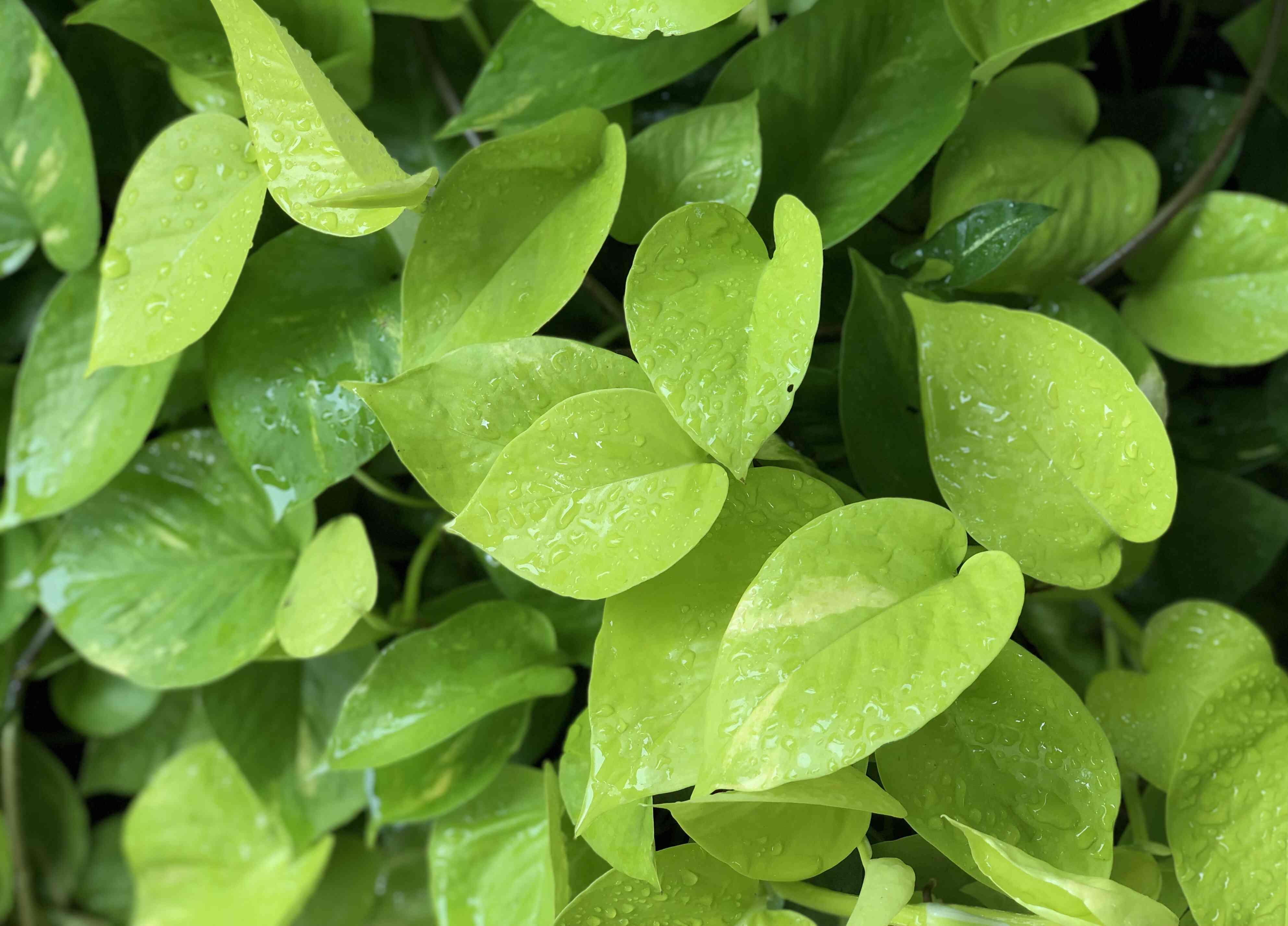 Green devil's ivy plants at raining season.