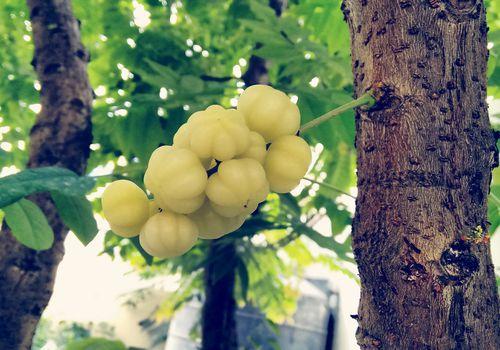 indian gooseberry fruit in tree