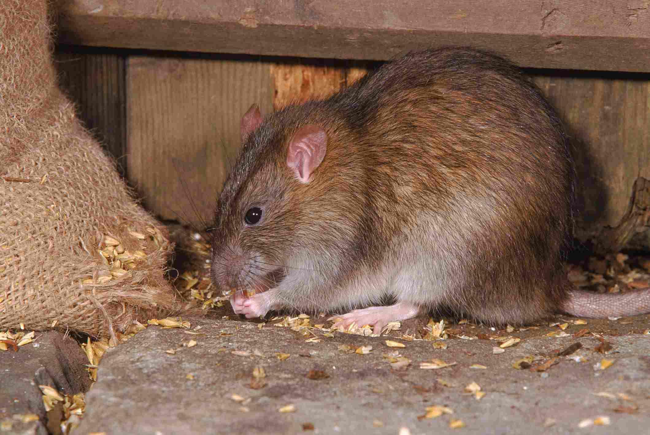 Brown Rat Eating Grain in a Barn