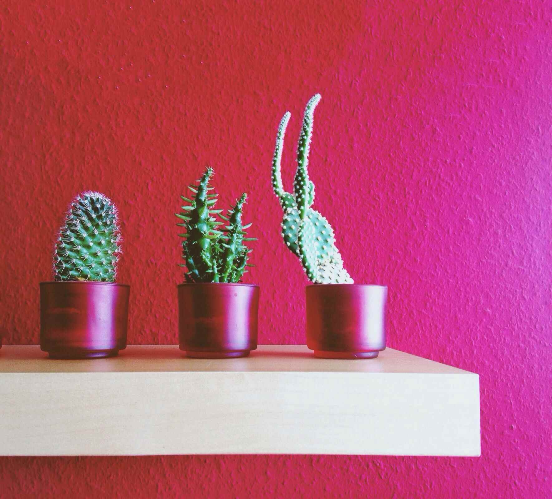 Three cactus plants sit on a white shelf in front of a red wall.
