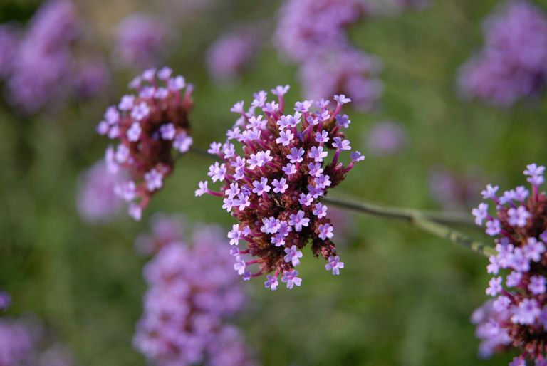 Vervain: Benefits, Side Effects, and Preparations