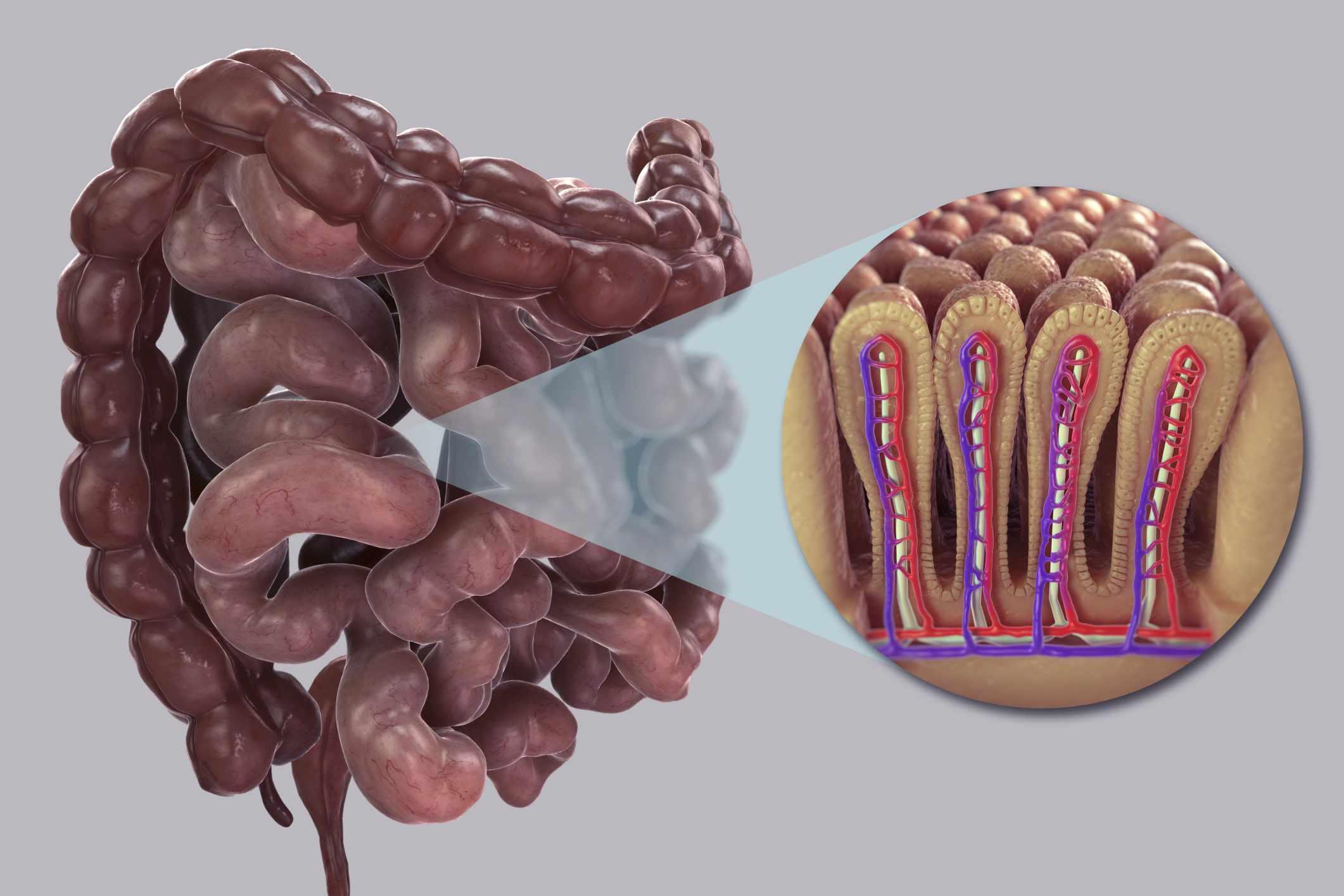 Small Intestine illustration