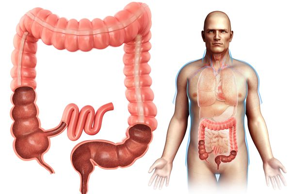 Male large intestine anatomy, illustration