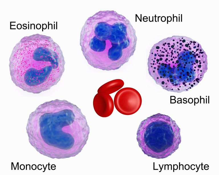 Illustration of red blood cells and white blood cells