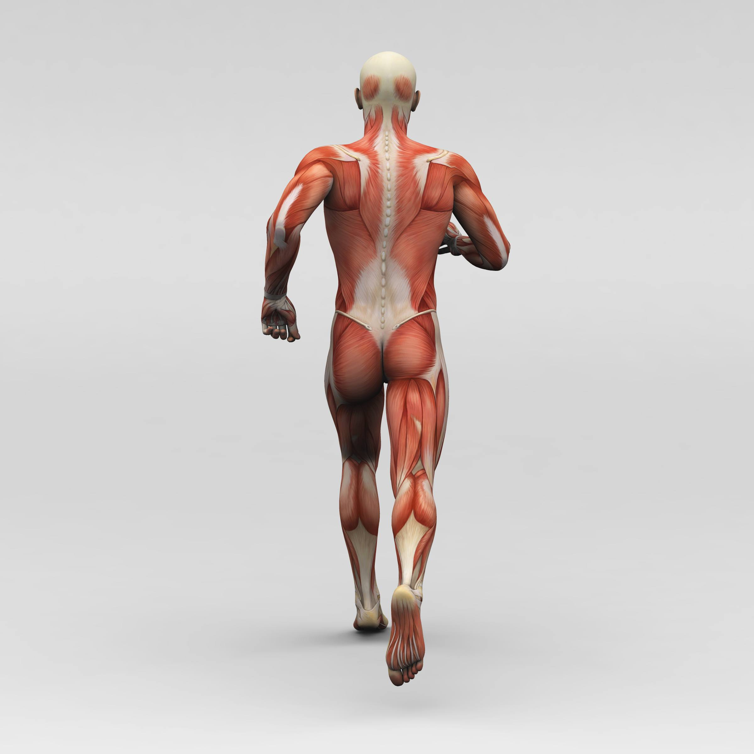 Hamstring Muscles