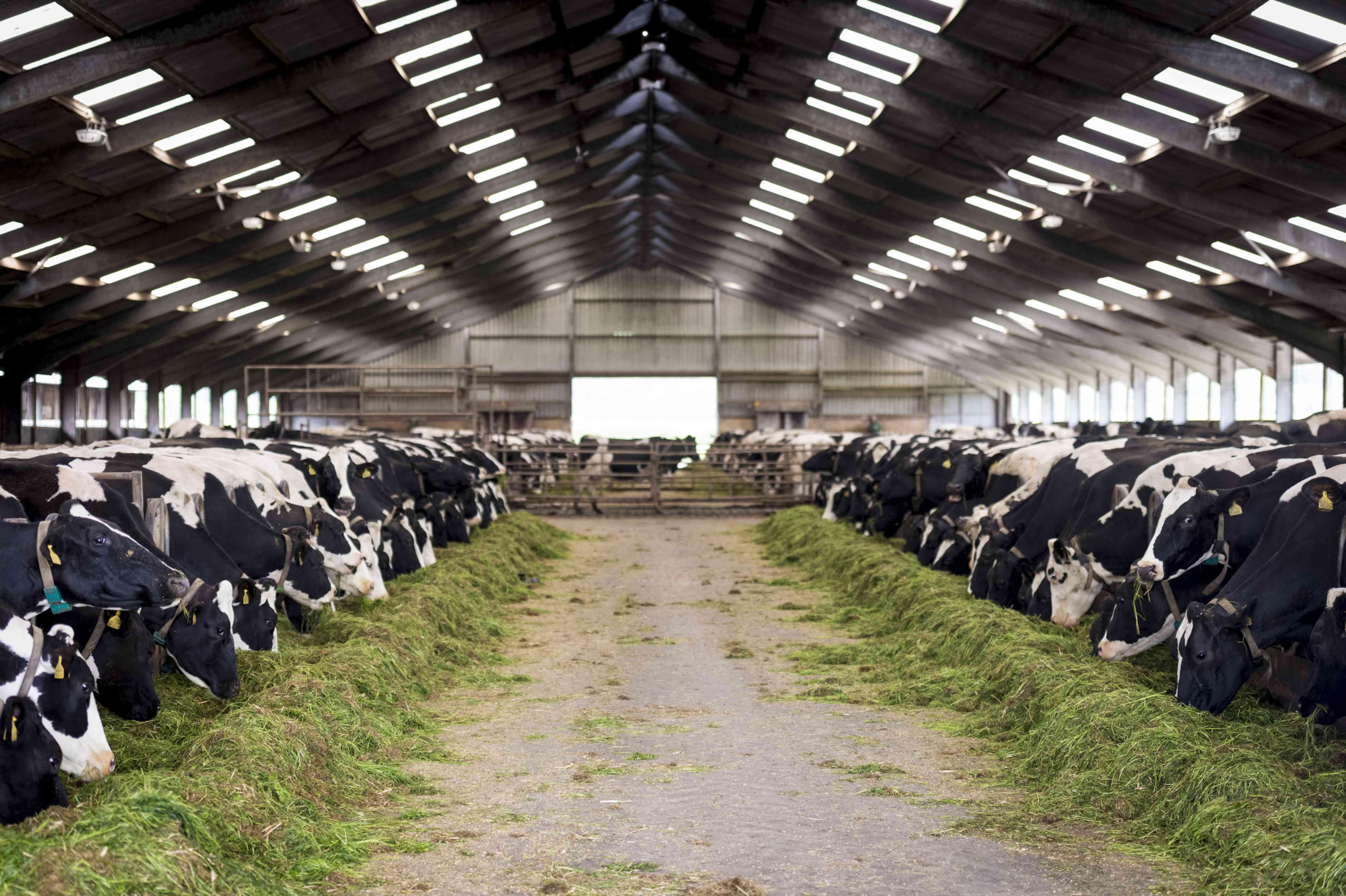 Dairy cows inside a barn