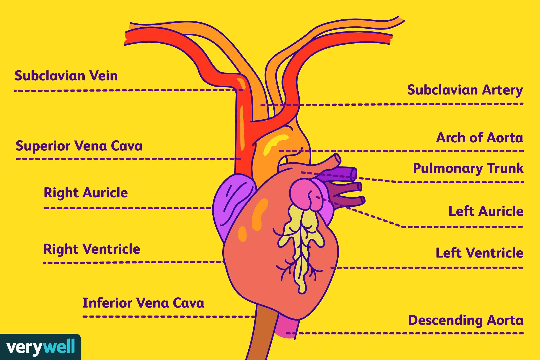 Subclavian Artery Anatomy