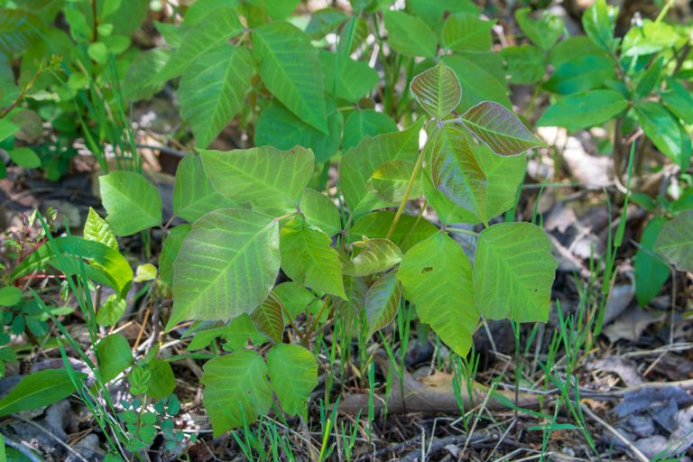 Poison Ivy growing on the ground