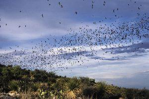 Mexican Freetail bats in flight at dusk, Tadarida brasiliensis. Carlsbad Caverns National Park. New Mexico. USA