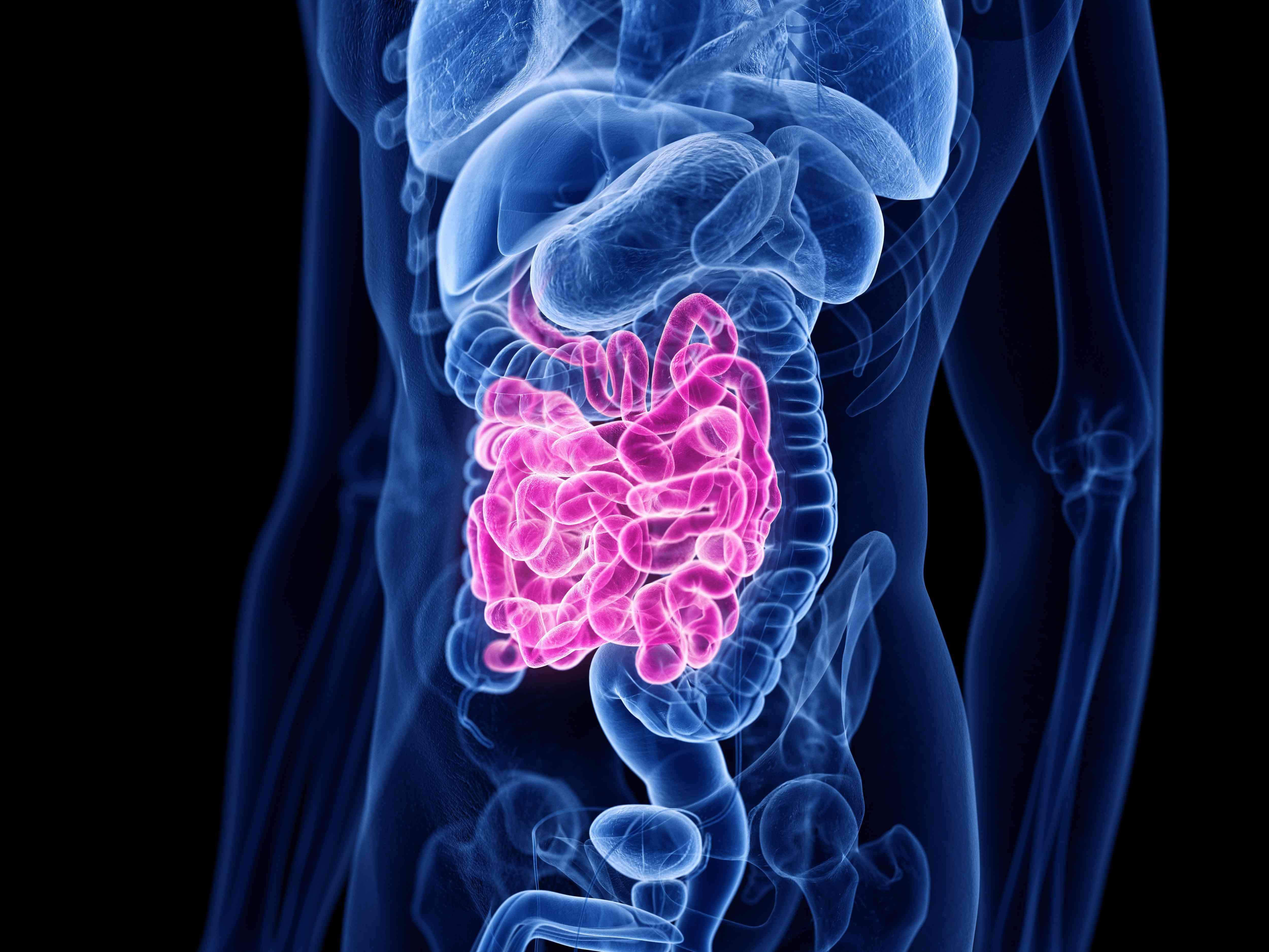 Small intestine, illustration