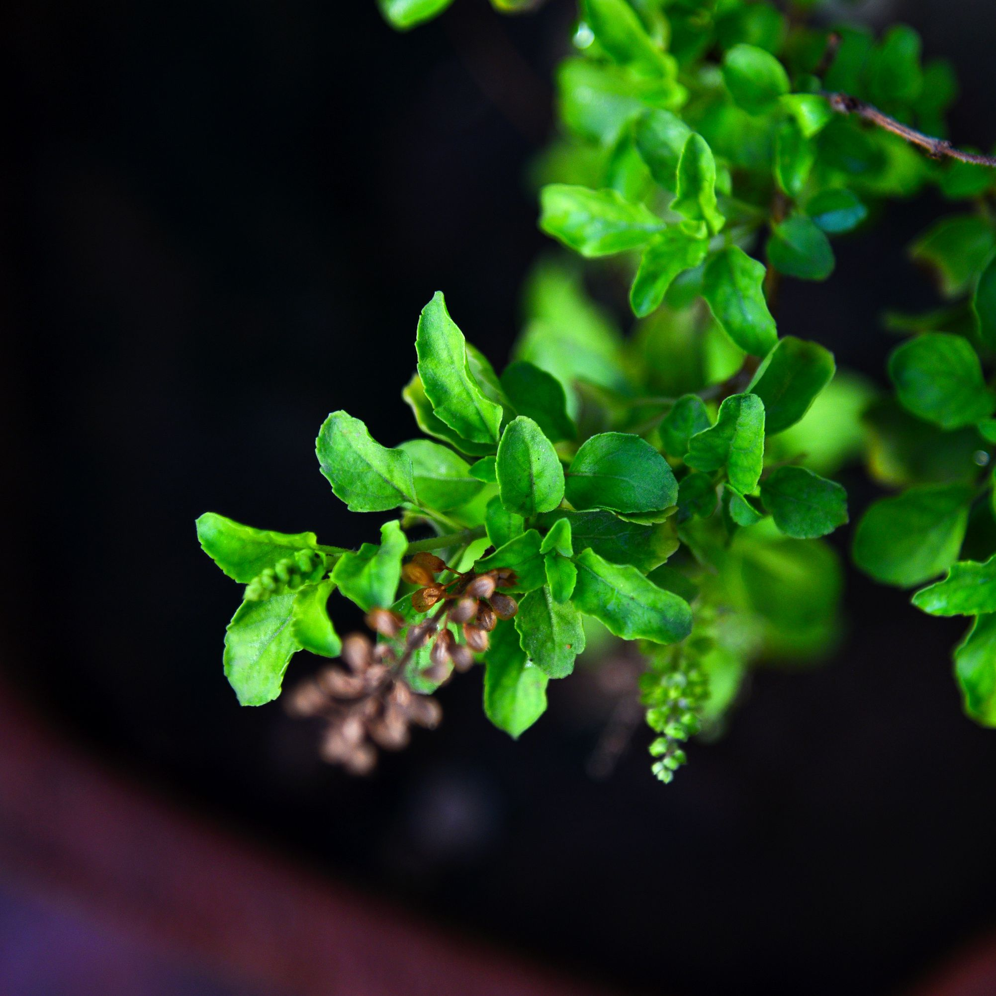 The Health Benefits of Holy Basil