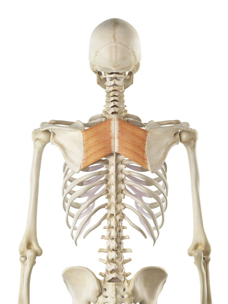 Depiction of rhomboid muscles on skeleton