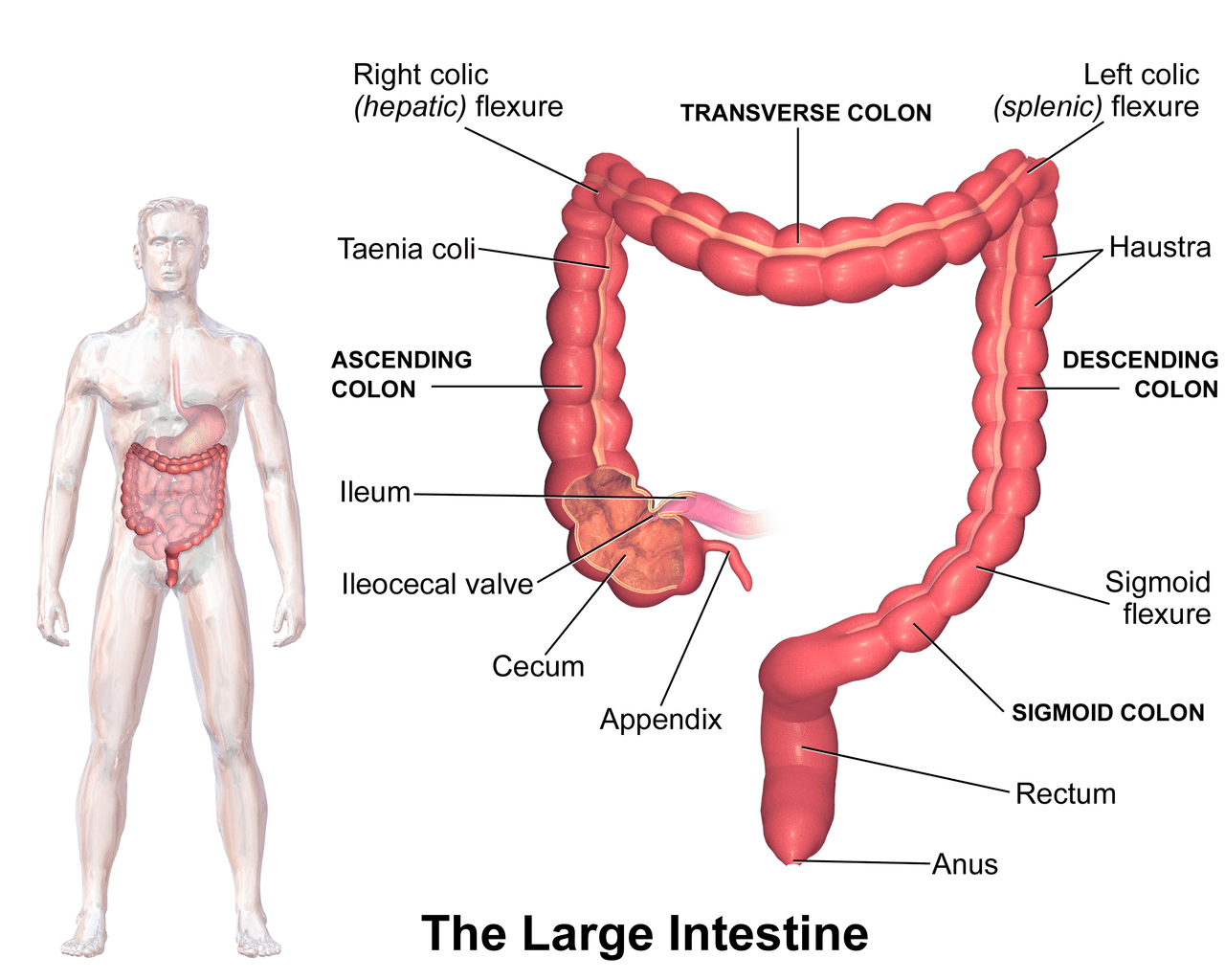 Full Set Of Digestive System Pictures