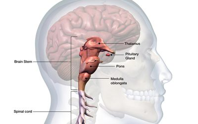 The brainstem is continuous wth the spinal cord