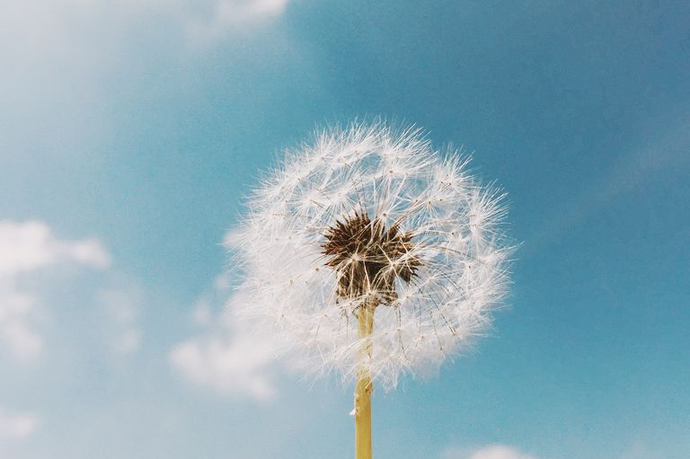 Low Angle View Of Dandelion Blooming Against Sky