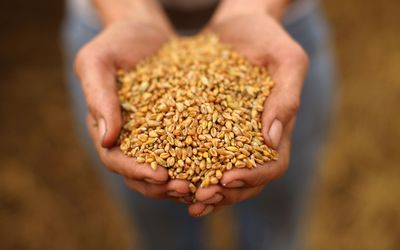 Global Grain Prices Set To Soar Amid Fears Of Wheat Shrotage Due To Drought