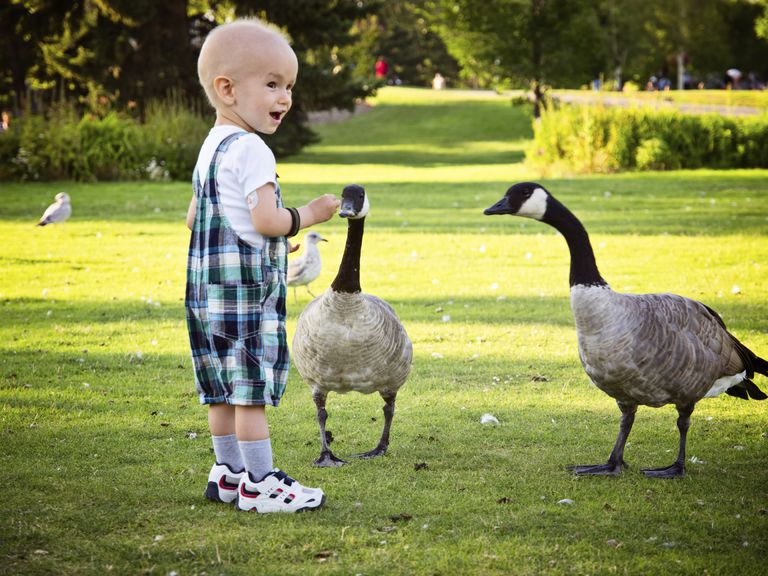 Child with cancer feeding geese in a park