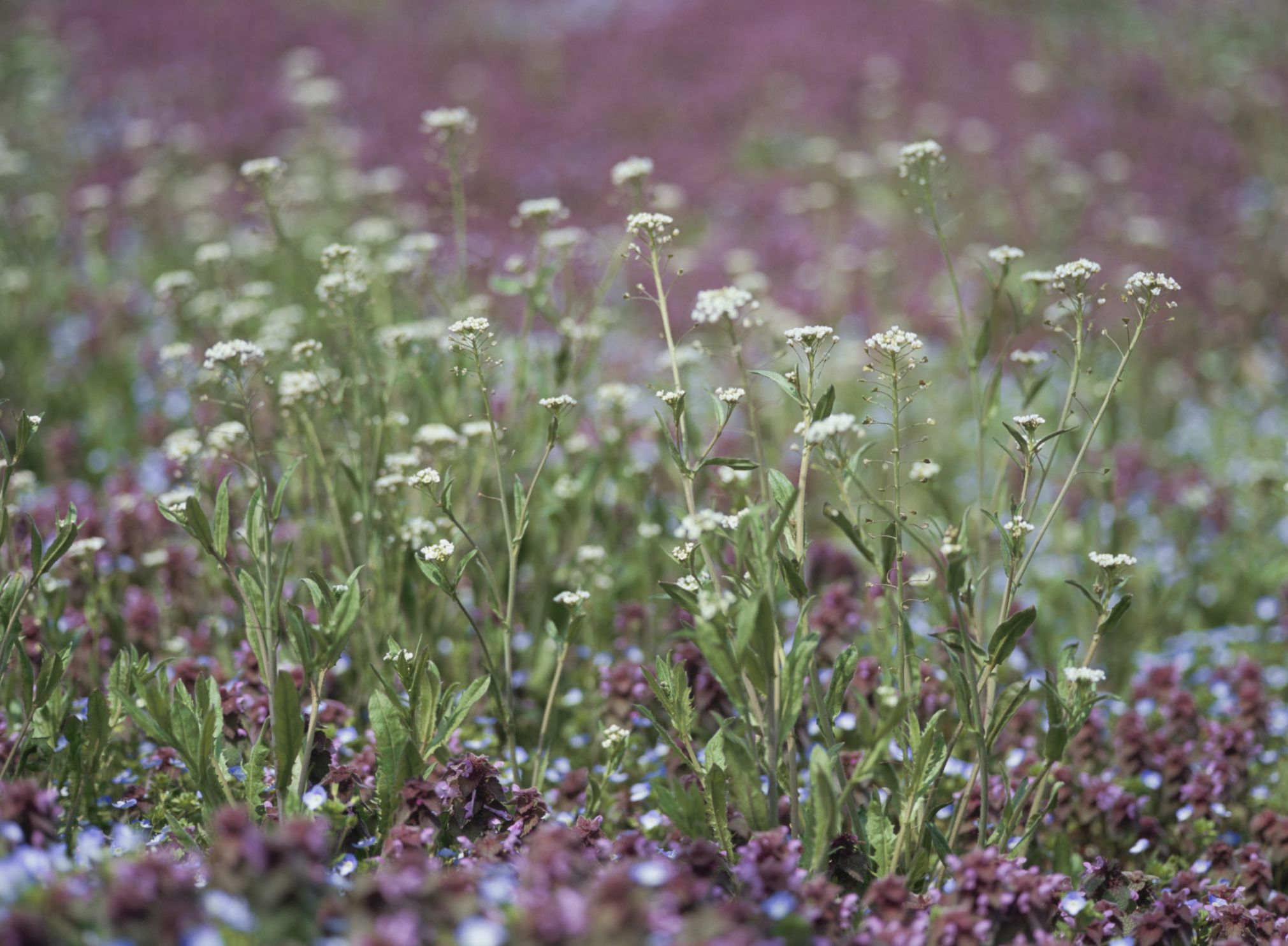 Shepherds purse to delay period