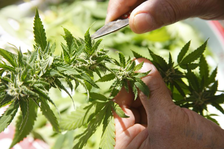 Hands pruning marijuana crop.