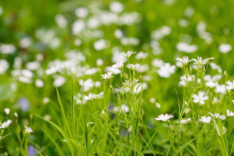 Chickweed in field