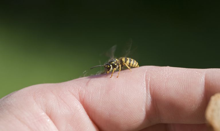 Yellow jacket perched on someone's finger