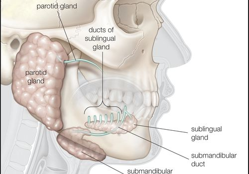 Three major salivary glands