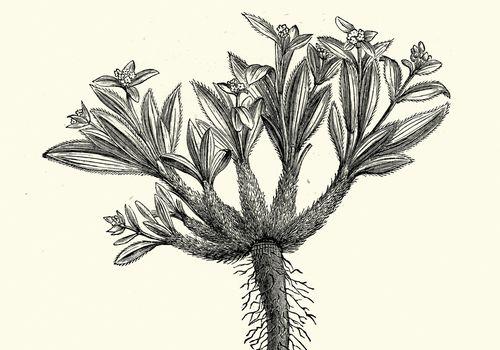 Vintage engraving of Nardostachys jatamansi