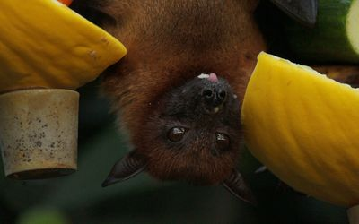 A close up of a bat hanging upside down in a fruit tree.