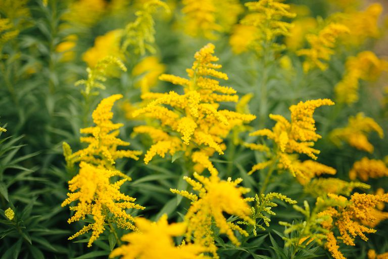 Benefits, Side Effects, and Preparations of Goldenrod