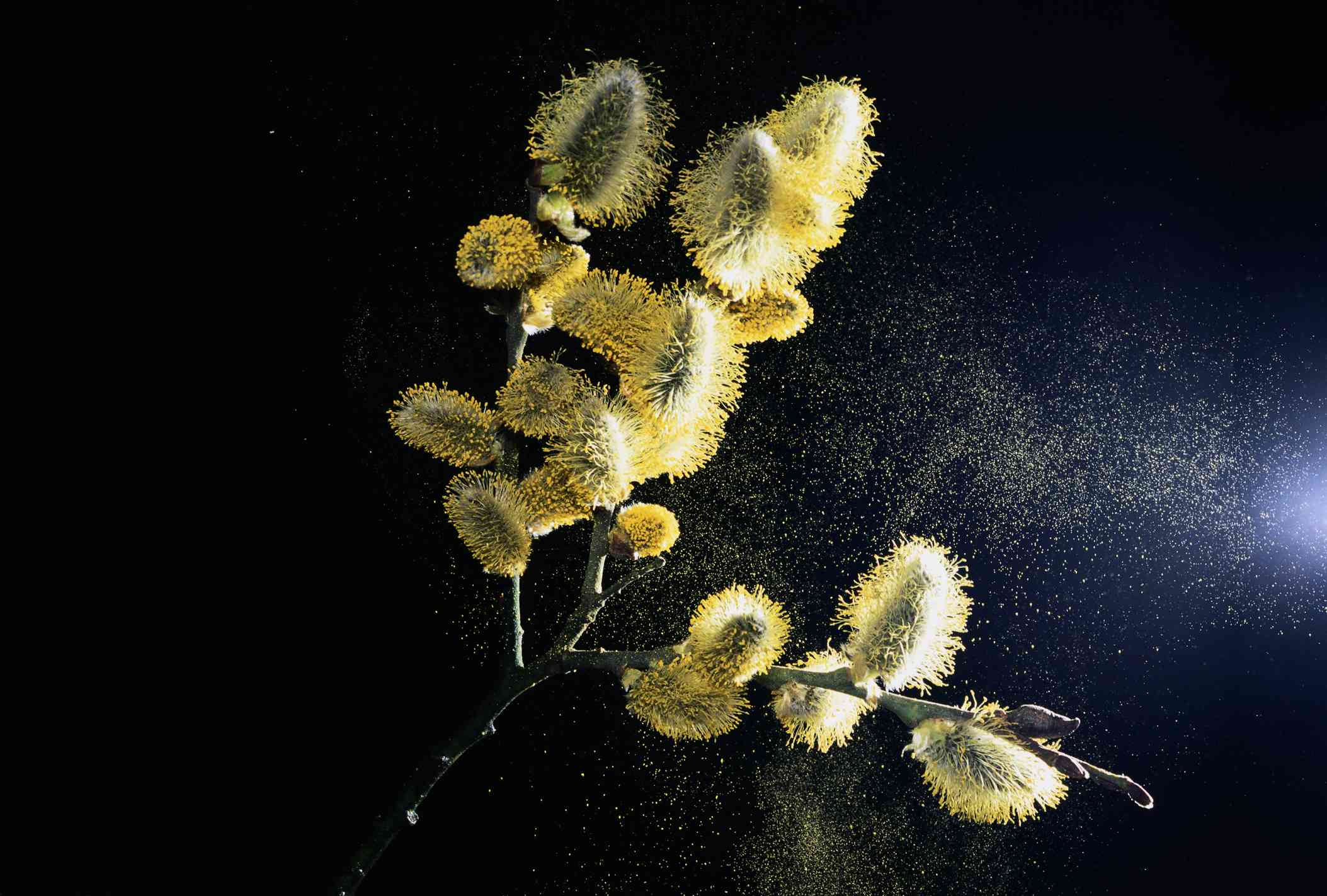 A close up of a branch of a willow tree releasing pollen.