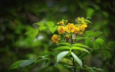 Flower on a Senna plant