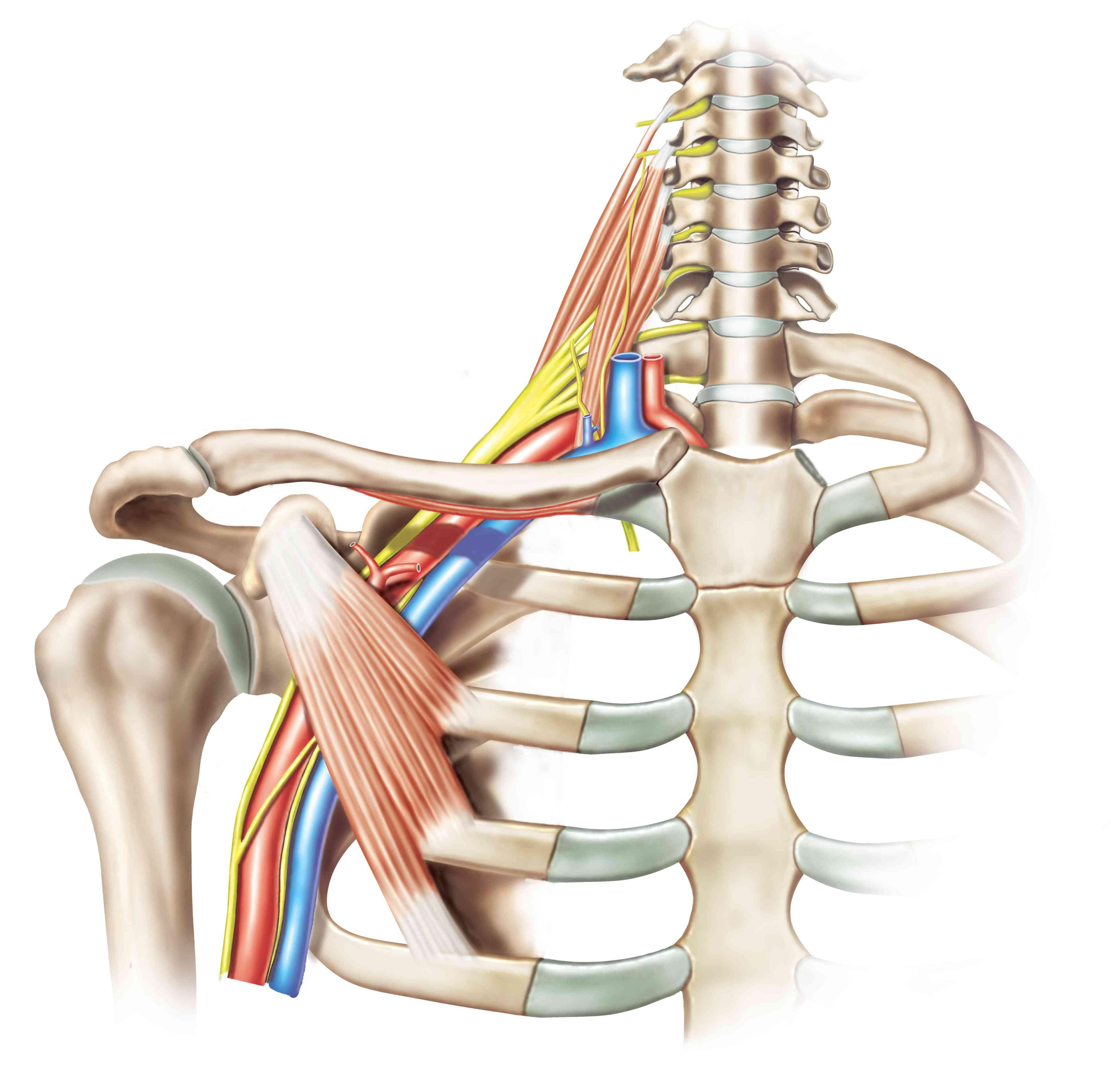 illustration showing the structures of the brachial plexus
