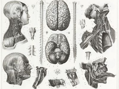 Engraved illustrations of Anatomy of the Brain and Nerves from Iconographic Encyclopedia of Science, Literature and Art, Published in 1851.