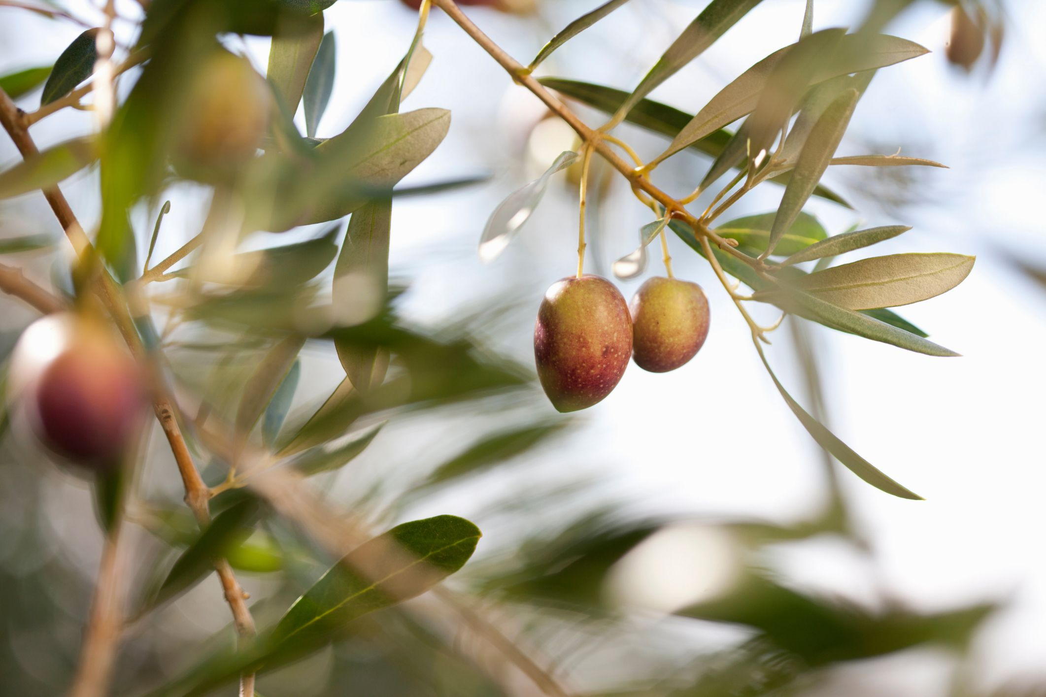 Olive Leaf Extract Benefits Side Effects Dosage And