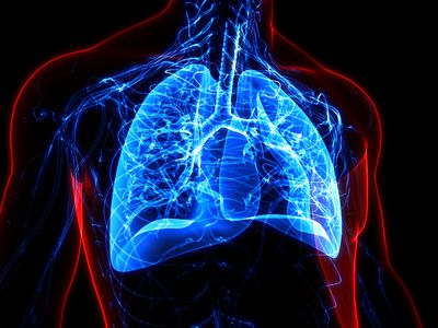 The lungs and bronchi